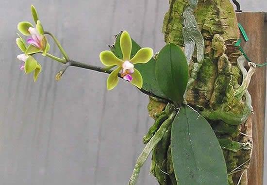 Plante orquídeas em troncos