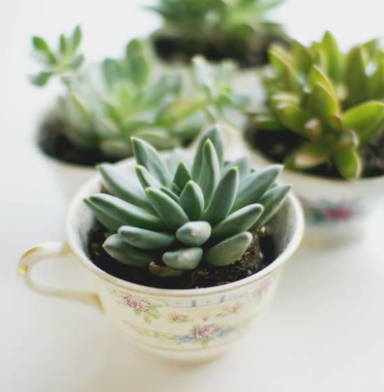 Plante mini suculentas com xícaras