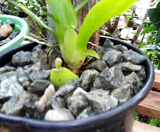 Substrato para orquídea: brita