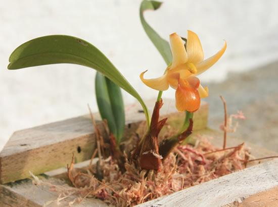 Substrato para orquídea: esfágno