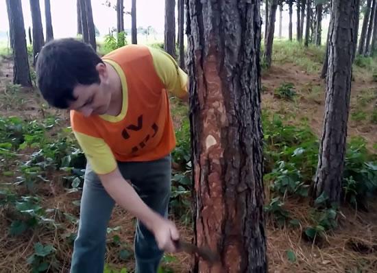 Substrato para orquídea: casca de pinus