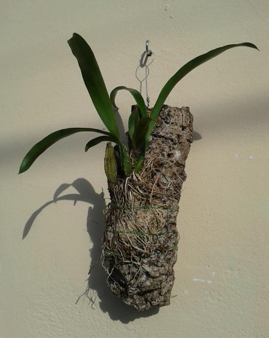 Como plantar orquídeas em troncos