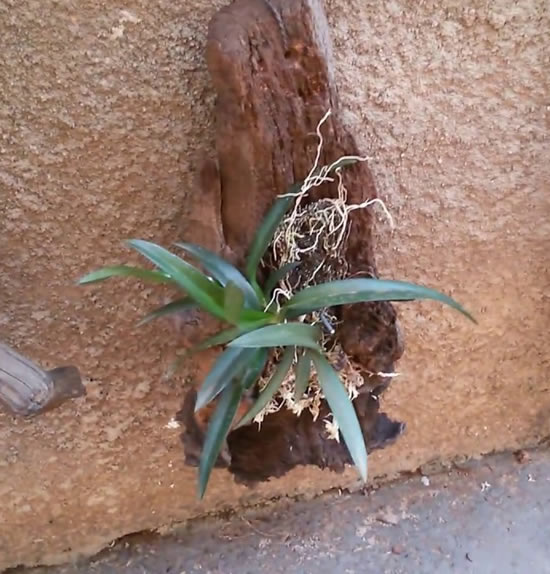 Dicas para plantar orquídeas em troncos