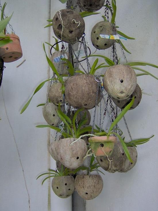 Dicas para plantar orquídeas em cocos