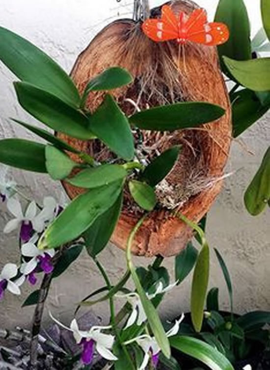 Ideias para plantar orquídea em coco
