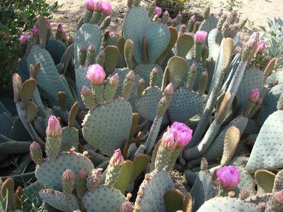 Lindos cactos com flores