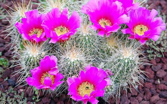 Cacto florido