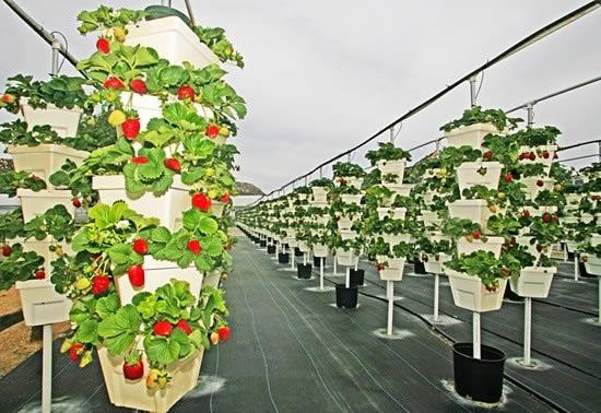 Plantação de morangos profissional