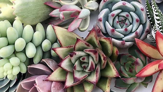 Como colorir suculentas