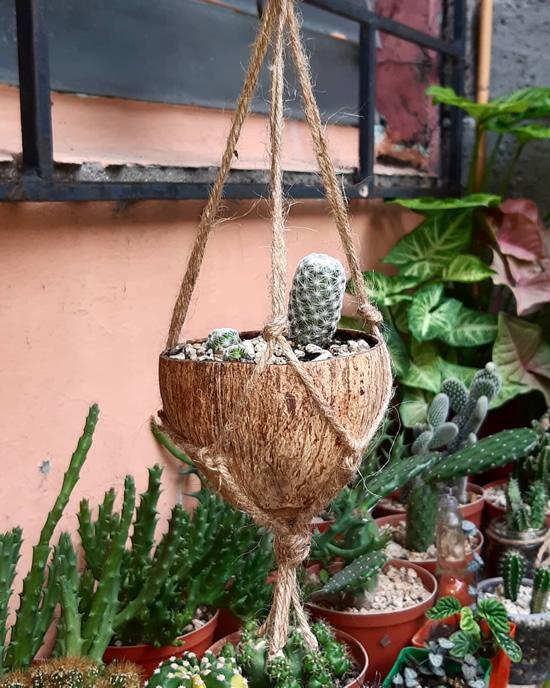 Vasos de cocos para cactos