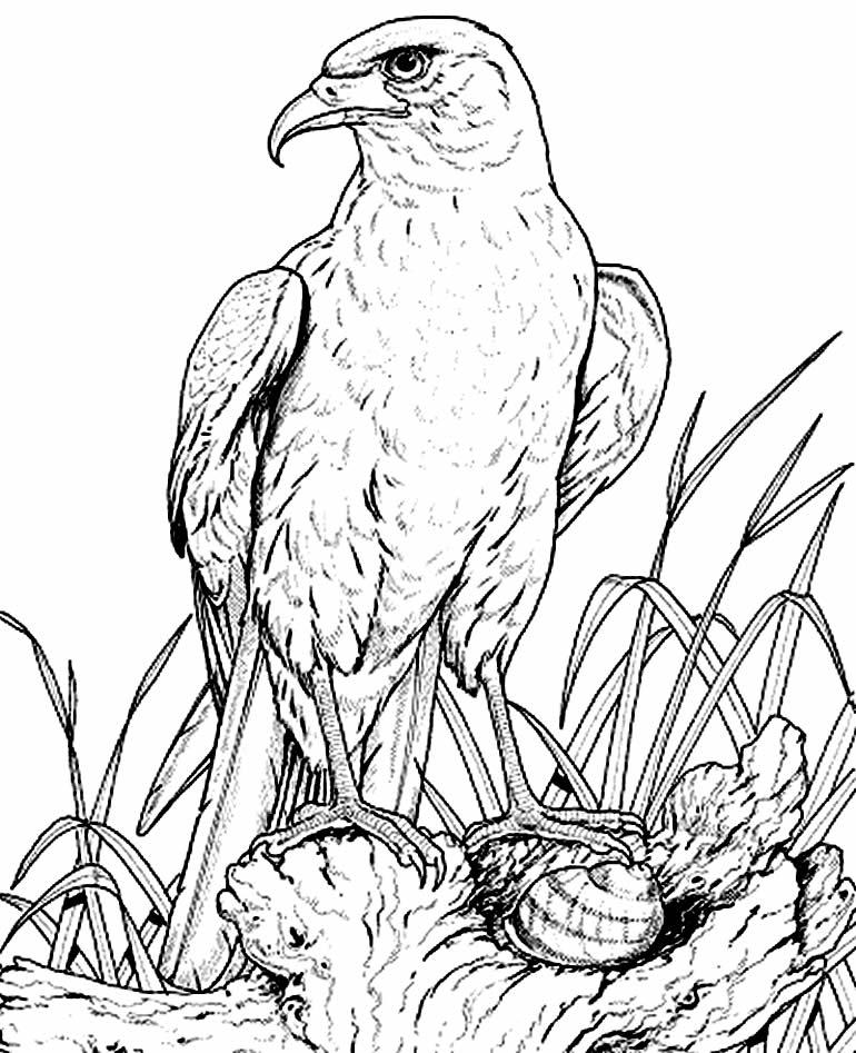 Imagem de Águia para colorir